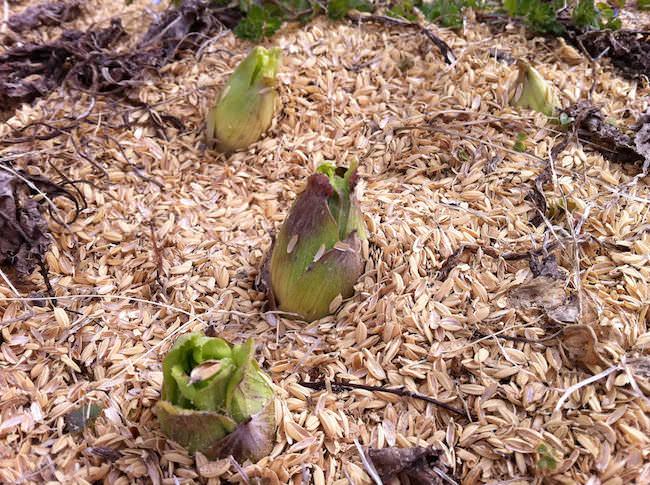 畑に生えてた蕗の薹(ふきのとう)