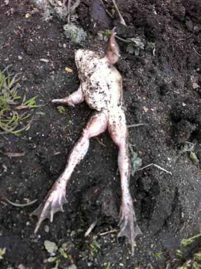 冬眠中のカエル(生きてます)