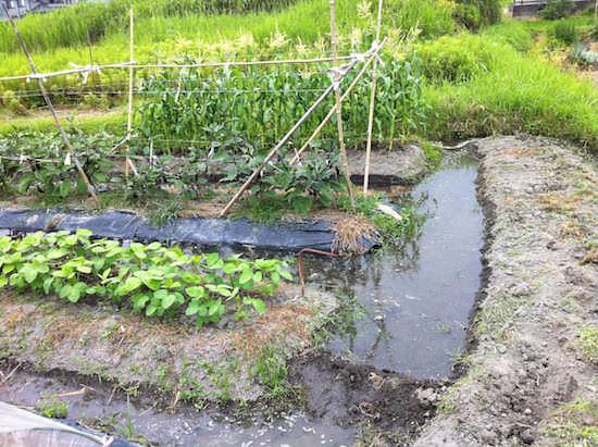 畑に水を張る