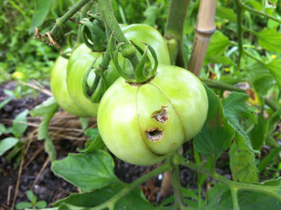 鳥につつかれたトマト