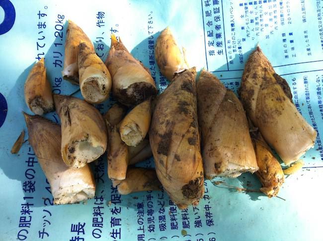 季節外れのタケノコ収穫