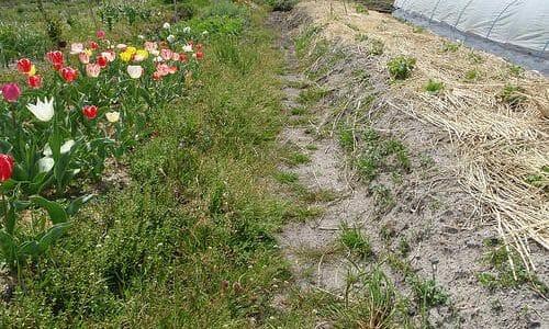 ヘアリーベッチで雑草抑制と緑肥効果を狙ってみる
