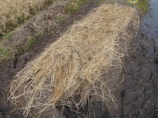 種まき後の稲わらマルチ