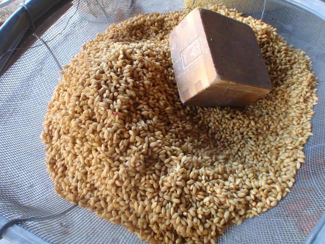 種籾 - 米の苗代づくり