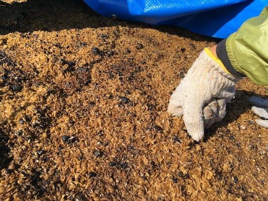 籾殻堆肥の熟成過程 - 数日後に熱をもってきた
