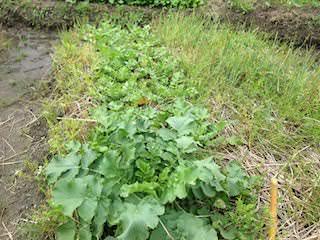 大根の収穫(三太郎)