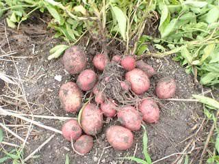 アンデスレッドの収穫