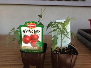 ぜいたくトマトのポット苗