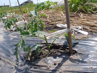 トマトの定植