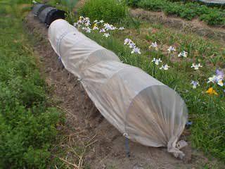 トマト苗に保温トンネル