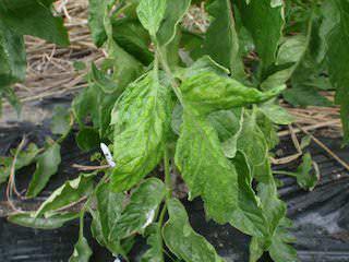 トマトの葉にちぢれ