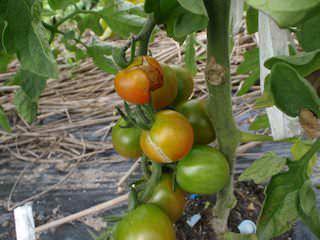 トマト実割れ