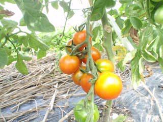 色づいてきたミニトマト