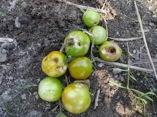 ミニトマトのカメムシ被害