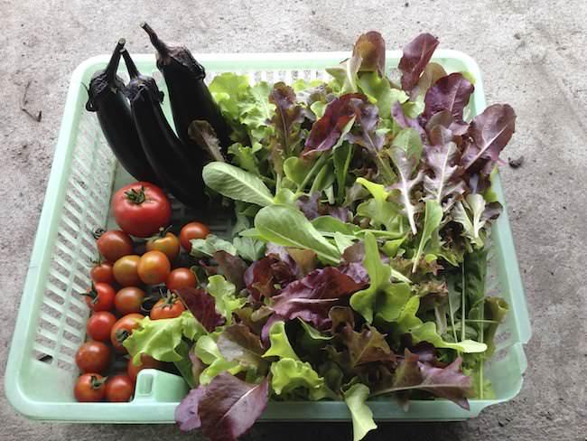 自分で育てた野菜を収穫