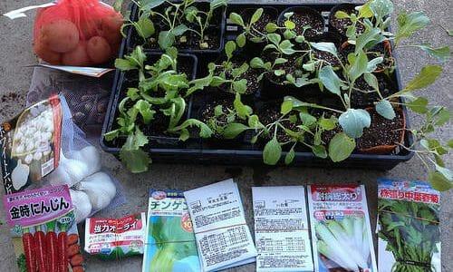 遅れ気味ですが秋冬野菜の植付け中