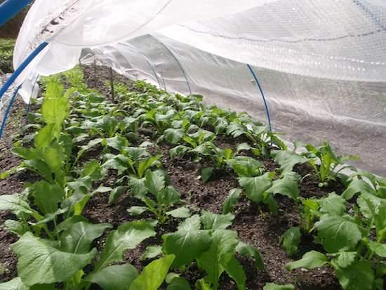 秋冬野菜の栽培