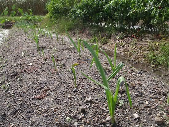 ニンニクの栽培