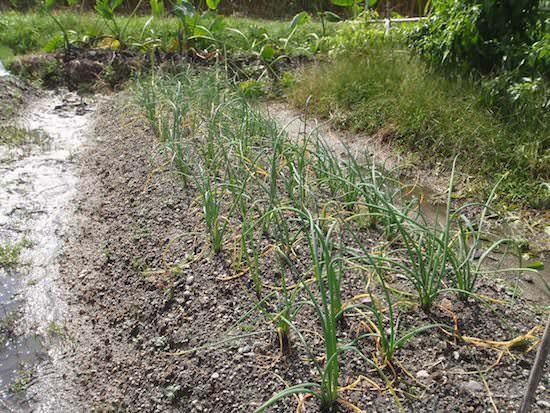 アサツキの栽培
