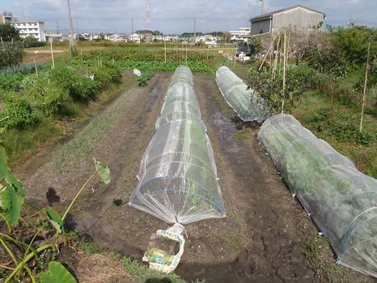 秋冬野菜の栽培中