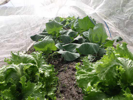 葉物野菜の栽培