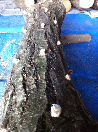 種駒の打ち込み - しいたけの原木栽培