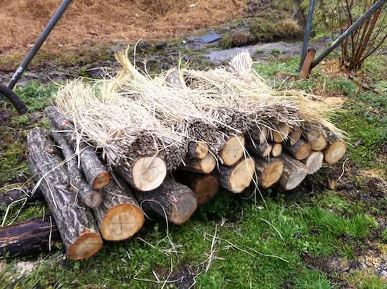 仮伏せ - しいたけの原木栽培