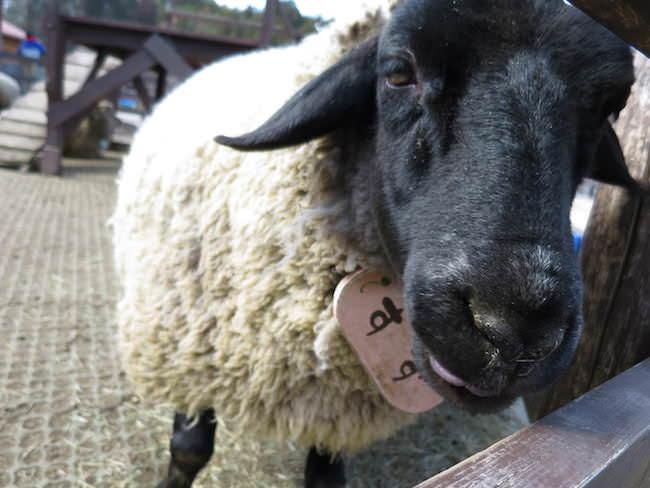 山羊や羊 - もくもくファーム