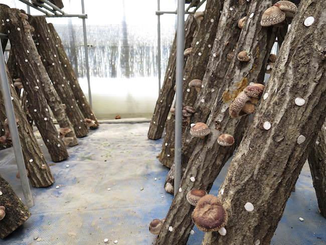 シイタケ収穫体験 - もくもくファーム