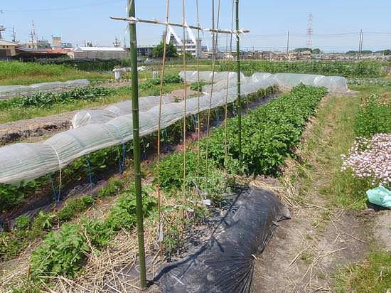 トマト栽培で風通しを良くした