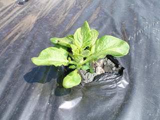 芽が出たらマルチに穴を開ける