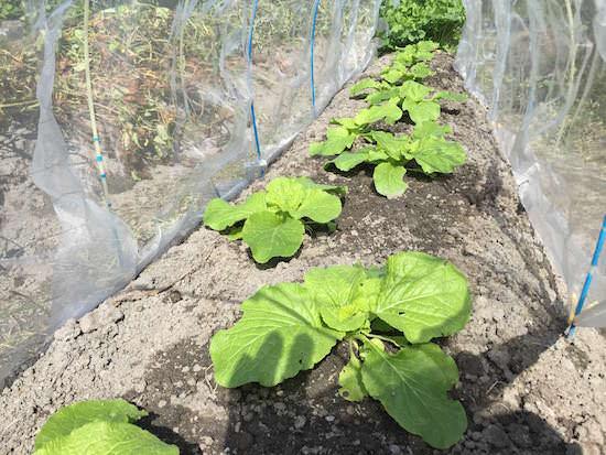 太陽熱マルチ殺草処理を施した畝の様子