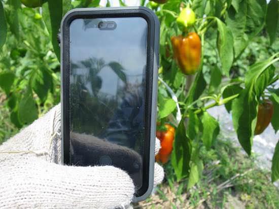 栽培記録はiPhoneで写真撮影