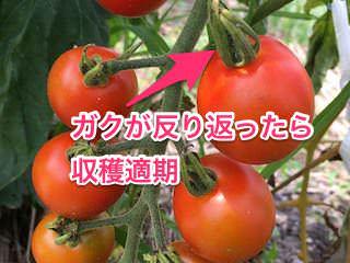ガクが反り返ったらトマト収穫適期