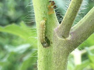 トマトの茎を食害するオオタバコガ