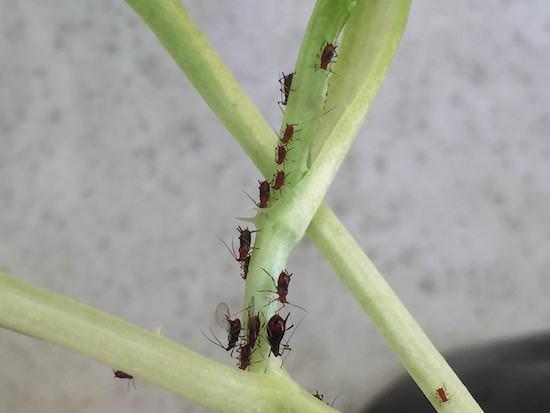 レタスの苗についたアブラムシ