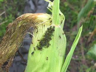 トウモロコシについているムギクビレアブラムシ