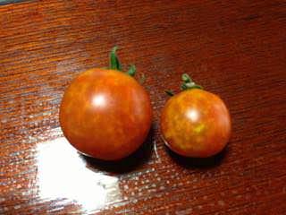 カメムシに吸汁されたトマト