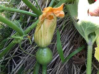 カボチャの雌花