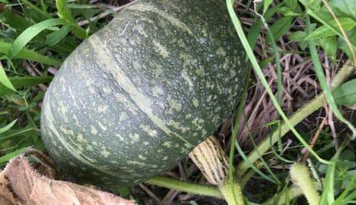 カボチャの栽培方法・育て方のコツ