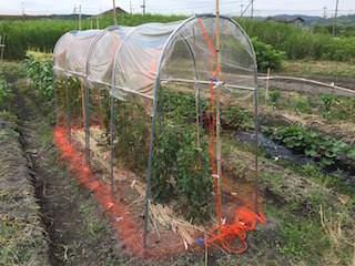 トマト栽培の防鳥ネット