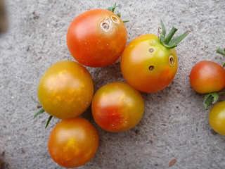 カメムシ被害にあったトマト