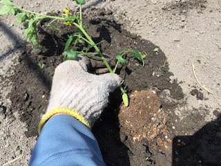 トマト苗の植付け