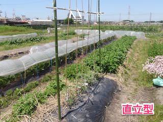 トマトの支柱立て(直立型)