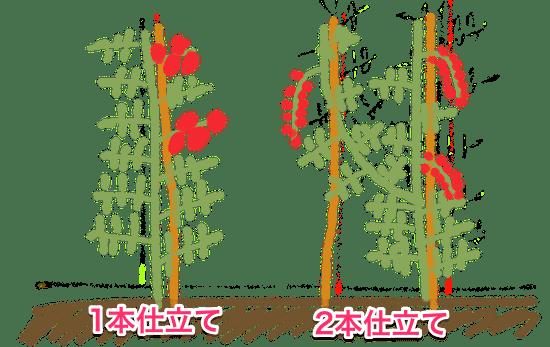 トマト栽培の仕立て方法