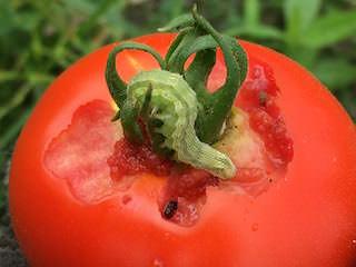 オオタバコガに食害されたトマト