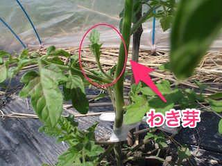 トマトのわき芽