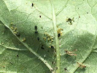 オクラの葉に群棲するワタアブラムシ