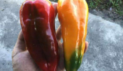 デルモンテのパプリカ苗「ガブリエル 赤・黄」の栽培記録