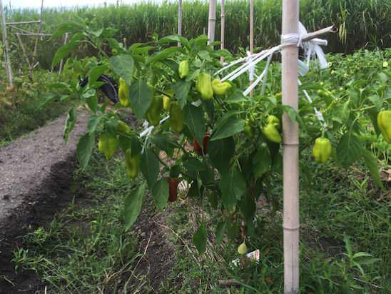 パプリカ(ガブリエル)の枝を紐で吊るす